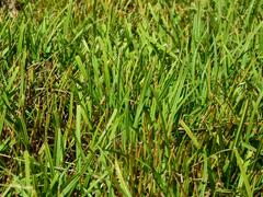Ostřice rusá - Carex flava