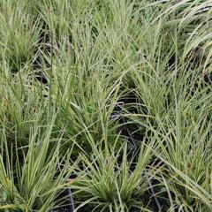 Ostřice 'Jubilo' - Carex brunnea 'Jubilo'