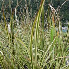 Ostřice 'Aureovariegata' - Carex brunnea 'Aureovariegata'
