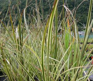 Ostřice 'Aureovariegata' - Carex brunnea 'Aureovariegata'