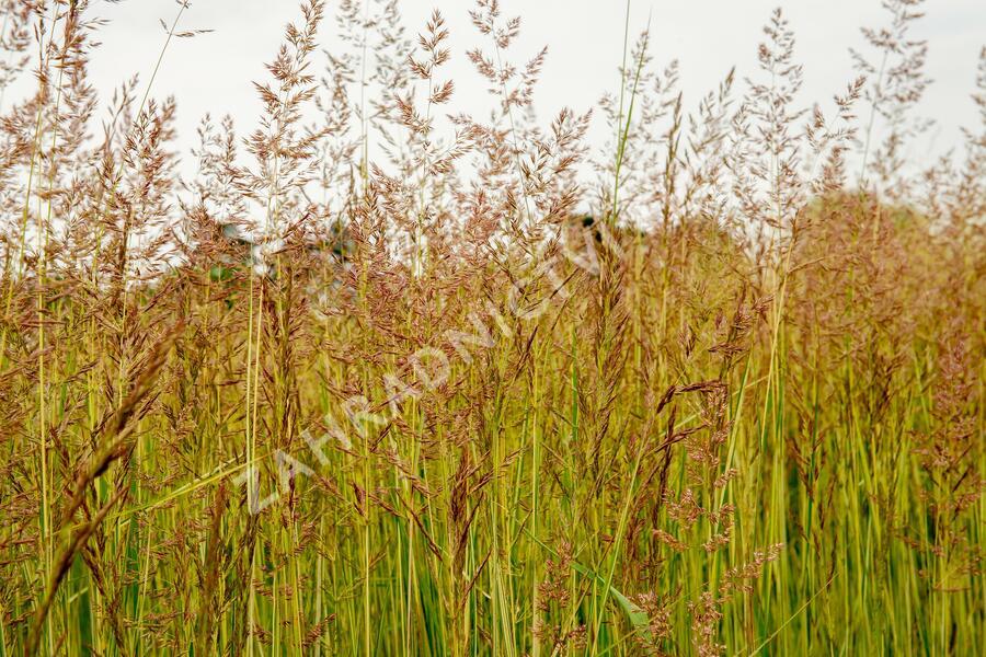 Třtina ostrokvětá 'Eldorado' - Calamagrostis acutiflora 'Eldorado'