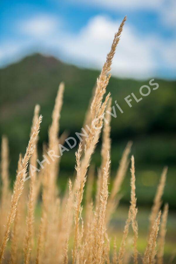 Třtina ostrokvětá 'Avalanche' - Calamagrostis acutiflora 'Avalanche'