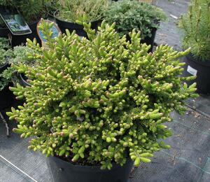 Smrk východní 'Juwel' - Picea orientalis 'Juwel'