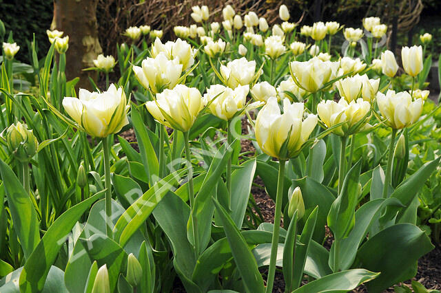 Tulipán Fosterův 'Exotic Emperor' - Tulipa Fosteriana 'Exotic Emperor'