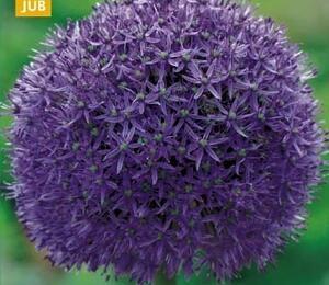 Okrasný česnek 'Globemaster' - Allium 'Globemaster'