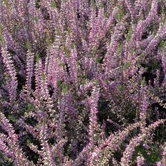 Vřes obecný 'Marleen' - Calluna vulgaris 'Marleen'