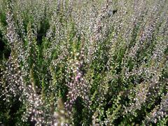 Vřes obecný 'Aphrodite' - Calluna vulgaris 'Aphrodite'