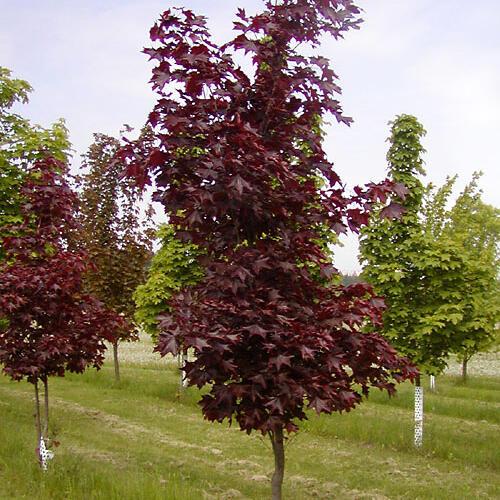 Javor mléč 'Faassen's Black' - Acer platanoides 'Faassen's Black'