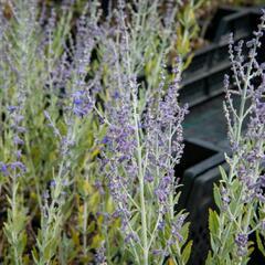 Perovskie lebedolistá 'Little Spire' - Perovskia atriplicifolia 'Little Spire'