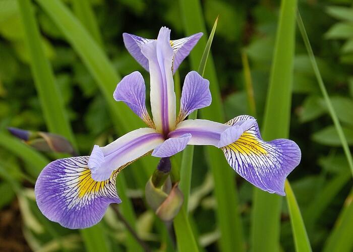 Kosatec různobarevný 'Gerald Darby' - Iris versicolor 'Gerald Darby'