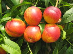 Nektarinka - raná 'Tena' - Prunus persica 'Tena'