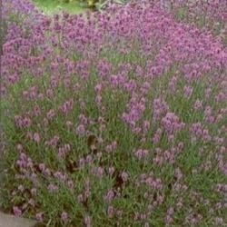 Levandule úzkolistá - Lavandula angustifolia