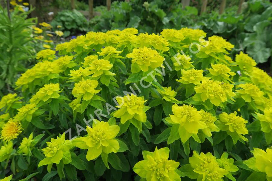 Pryšec mnohobarvý - Euphorbia polychroma