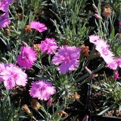 Hvozdík péřitý 'Dixie Pink' - Dianthus plumarius 'Dixie Pink'