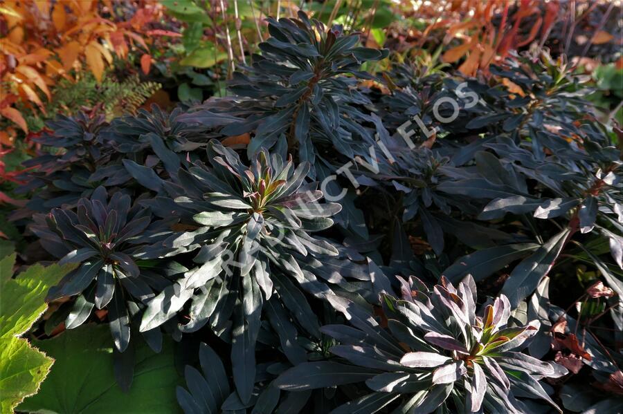 Pryšec mandloňovitý 'Purpurea' - Euphorbia amygdaloides 'Purpurea'
