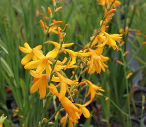 Křešina 'Honey Angels' - Crocosmia crocosmiiflora 'Honey Angels'