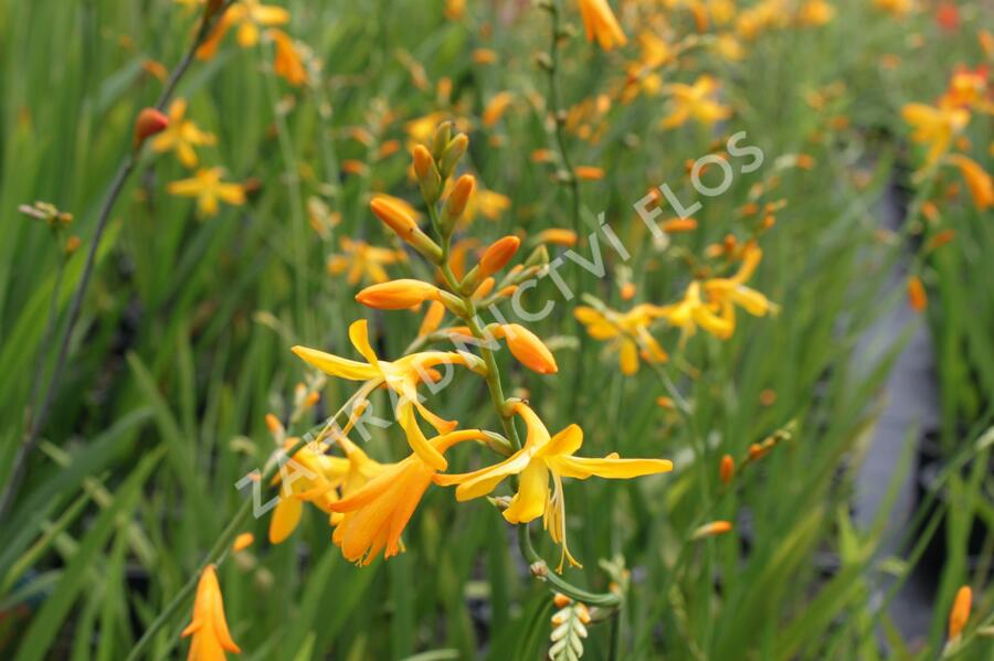 Křešina 'Honey Angels' - Crocosmia crocosmiiflora 'Honey Angels'