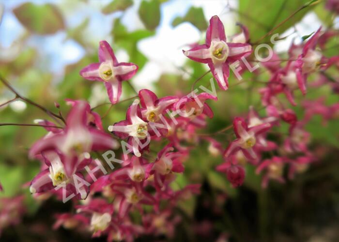 Škornice červená - Epimedium rubrum