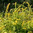 Zlatobýl 'Golden Fleece' - Solidago sphacelata 'Golden Fleece'