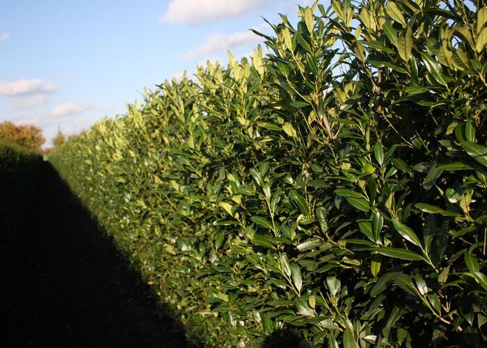 Bobkovišeň lékařská 'Herbergii' - předpěstovaný živý plot - Prunus laurocerasus 'Herbergii' - předpěstovaný živý plot
