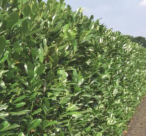 Bobkovišeň lékařská 'Caucasica' - předpěstovaný živý plot - Prunus laurocerasus 'Caucasica' - předpěstovaný živý plot