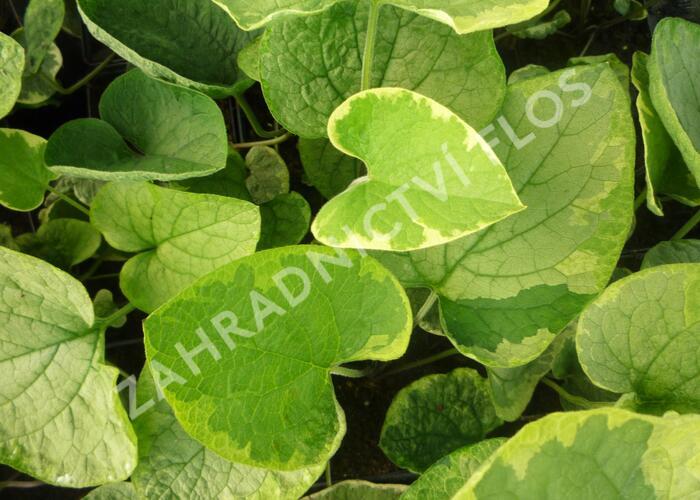 Pomněnkovec velkolistý 'Hadspen Cream' - Brunnera macrophylla 'Hadspen Cream'