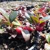 Libavka polehlá 'Winter Pearls Big Berry' - Gaultheria procumbens 'Winter Pearls Big Berry'