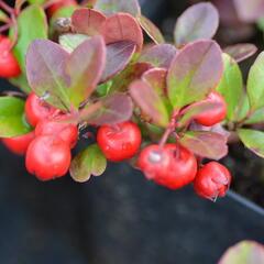 Libavka polehlá 'Winter Pearls Big Berry' - Gaultheria procumbens 'Winter Pearls Big Berry'