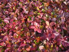 Libavka polehlá 'Winter Pearls Red Baron' - Gaultheria procumbens 'Winter Pearls Red Baron'