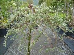 Vrba plazivá 'Iona' - Salix repens 'Iona'