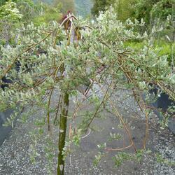 Vrba plazivá - Salix repens 'Iona'