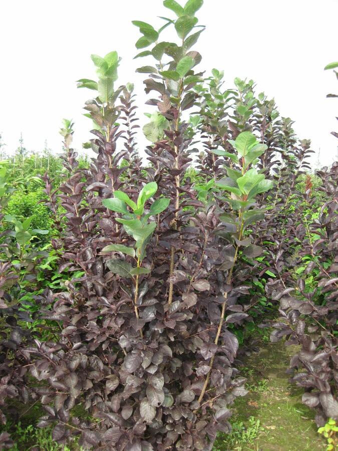 Střemcha viržinská 'Shubert' - Prunus virginiana 'Shubert'