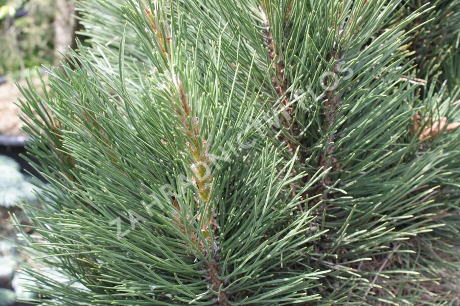 Borovice černá 'Molette' - Pinus nigra 'Molette'
