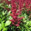 Čechrava japonská 'Red Sentinel' - Astilbe japonica 'Red Sentinel'