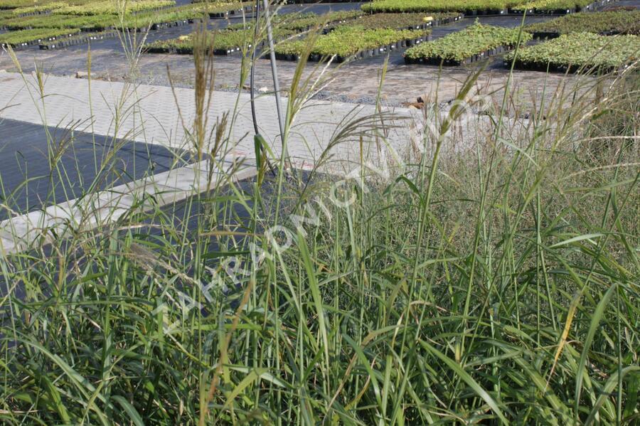 Ozdobnice čínská 'Gracillimus' - Miscanthus sinensis 'Gracillimus'
