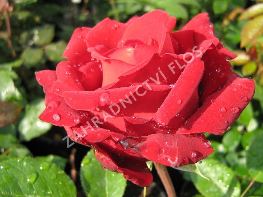Růže velkokvětá 'Ingrid Bergman' - Rosa VK 'Ingrid Bergman'