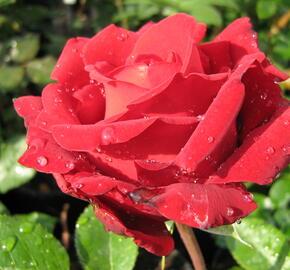 Růže velkokvětá Poulsen 'Ingrid Bergman' - Rosa VK 'Ingrid Bergman'