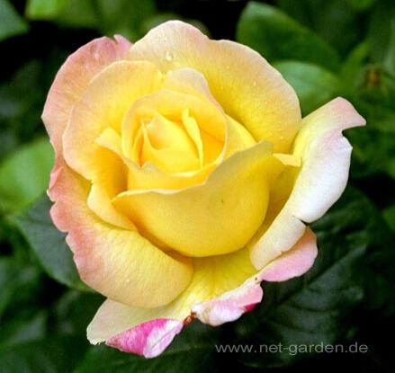 Růže velkokvětá 'Gloria Dei' - Rosa VK 'Gloria Dei'