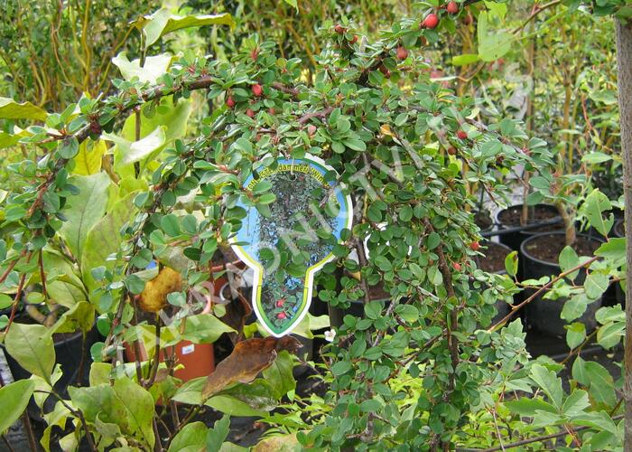 Skalník Dammerův 'Winter Jewel' - Cotoneaster dammerii 'Winter Jewel'