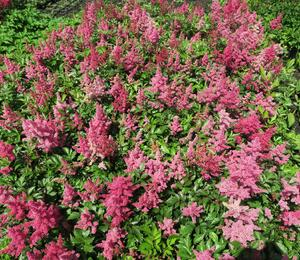 Čechrava Arendsova 'Burgundy Red' - Astilbe arendsii 'Burgundy Red'