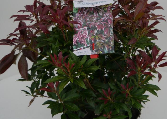 Pieris japonský 'Katsura' - Pieris japonica 'Katsura'