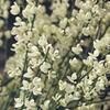 Čilimník časný 'Albus' - Cytisus praecox 'Albus'