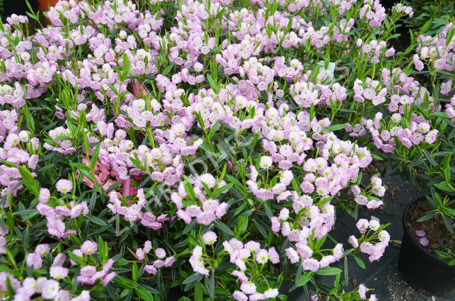 Mamota sivolistá - Kalmia polifolia