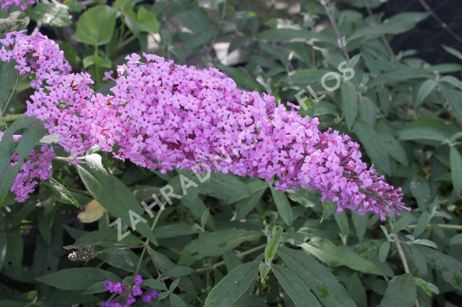 Motýlí keř, Komule Davidova 'Pink Delight' - Buddleia davidii 'Pink Delight'