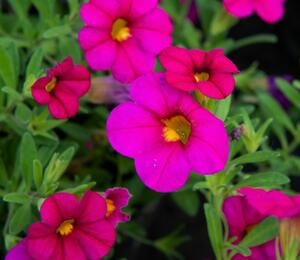 Minipetunie, Million Bells 'Sweetbells Rose' - Calibrachoa hybrida 'Sweetbells Rose'