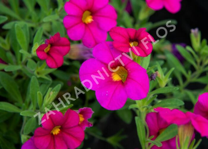 Minipetunie, Million Bells 'Sweetbells Rose' - Calibrachoa hybrida 'Sweetbells Rose'