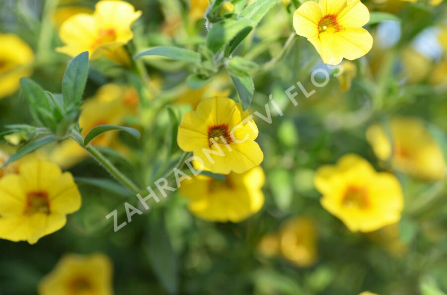 Minipetunie, Million Bells 'Calita Yellow Red Morn' - Calibrachoa hybrida 'Calita Yellow Red Morn'