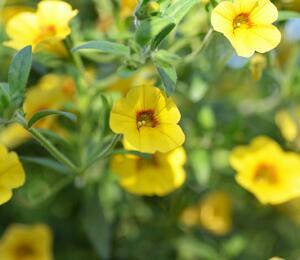 Minipetunie, Million Bells 'Calita Yellow Red Morn' - Calibrachoa hybrida 'Calita Yellow Red Morn'
