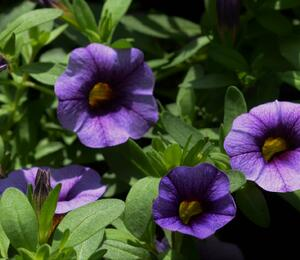 Minipetunie, Million Bells 'Sweetbells Blue Eye' - Calibrachoa hybrida 'Sweetbells Blue Eye'