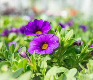 Minipetunie, Million Bells 'Sweetbells Dark Blue' - Calibrachoa hybrida 'Sweetbells Dark Blue'